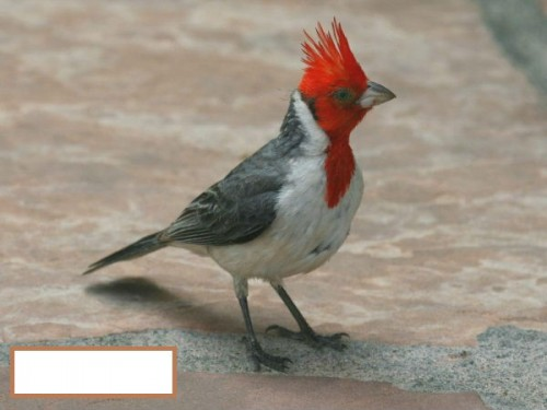 22613_rd_crested_cardinal_thb