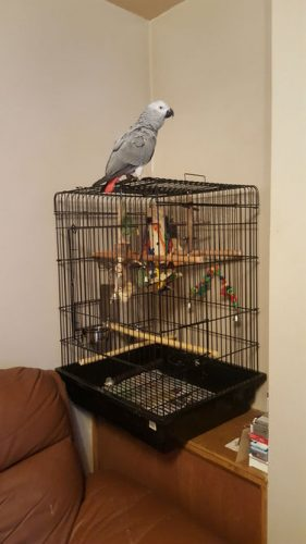 531303_male-african-grey-for-sale-_photo_1_1463156199_img